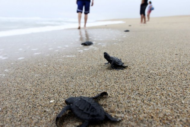 An Olive Ridley turtle hatchling flips on its back while trying to reach the ocean. (Photo: REUTERS/Alejandro Acosta)