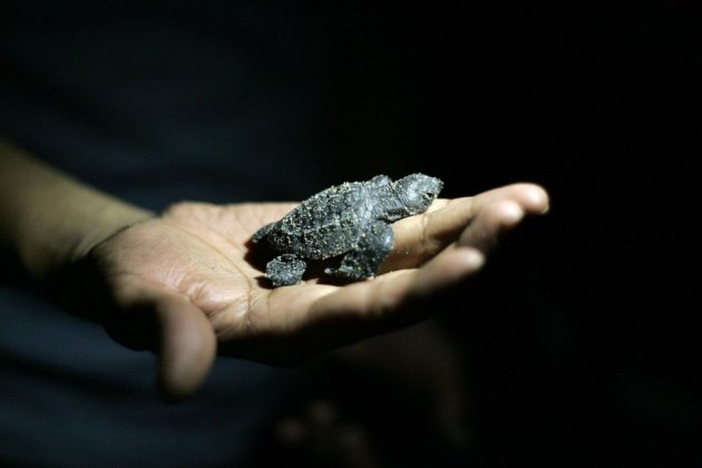 A volunteer holds a Olive Ridley turtle hatchling before releasing it into ocean. (Photo: REUTERS/Alejandro Acosta)