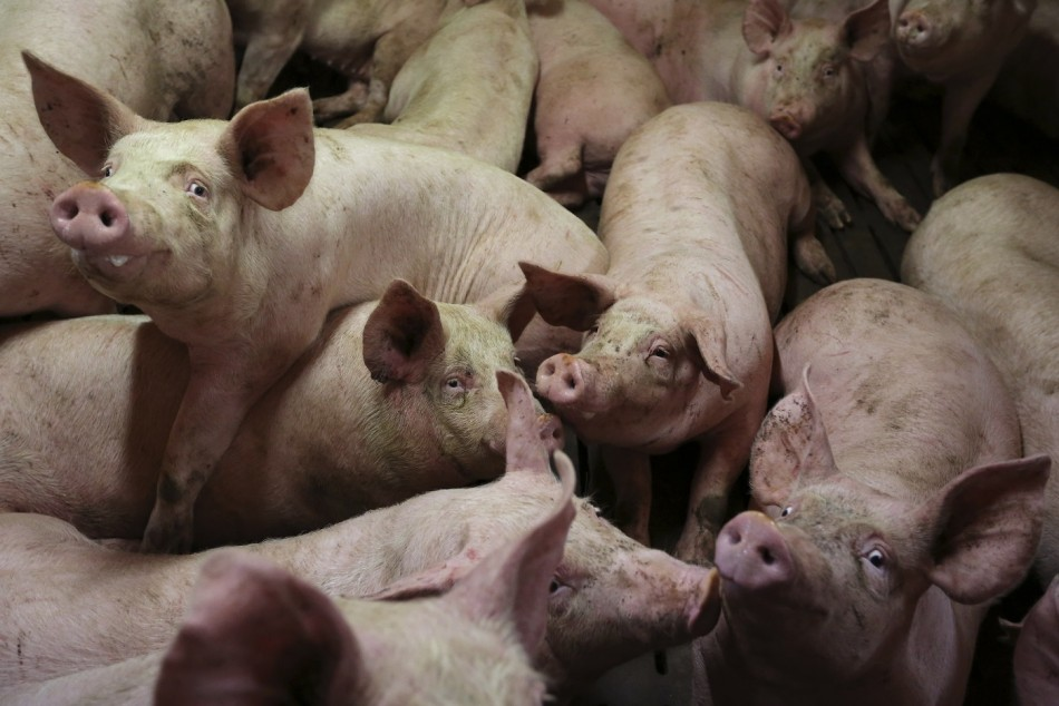 Mafia fed pigs italy
