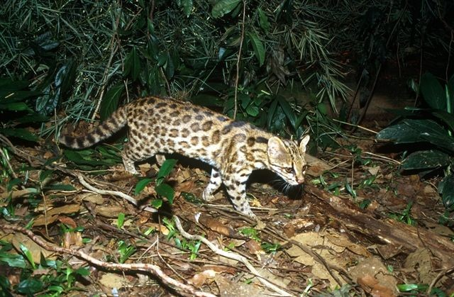 Northeastern Brazil tigrina