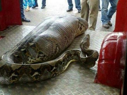Python eats drunk man in India story has turned out to be Hoax (Twitter/mvnair212)
