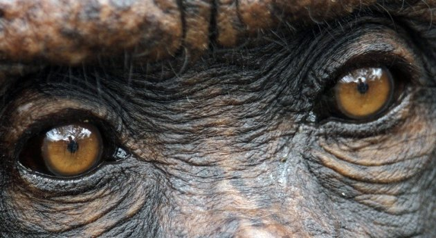 Court fight to make chimpanzee in to a legal person PIC: Reuters