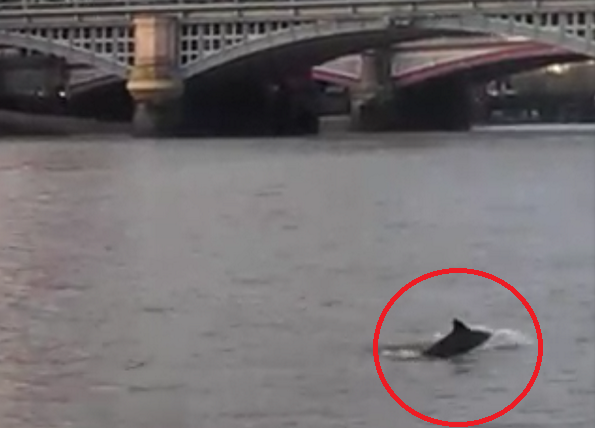 Dolphin leaps from river Thames near Blackfriars Bridge PIC: MPSonthewater
