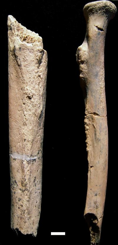 Arm bone fragments from a 1.34-million-year-old hominin, Paranthropus boisei
