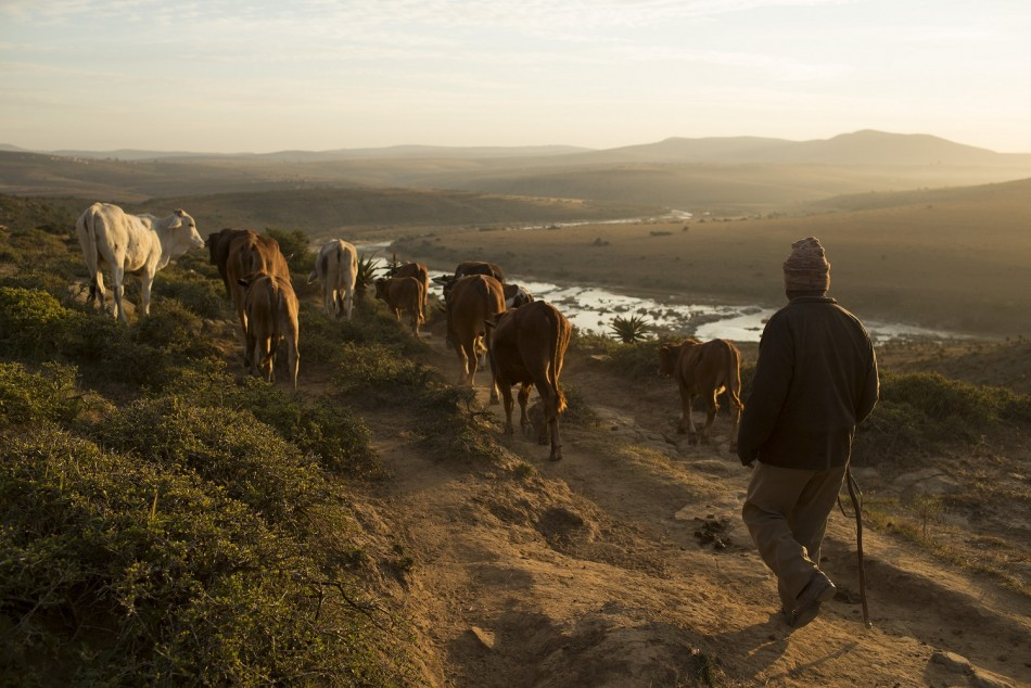 A herder directs his cattle towards a river, close to the birthplace of ailing former South African President Nelson Mandela, near the village of Mvezo J