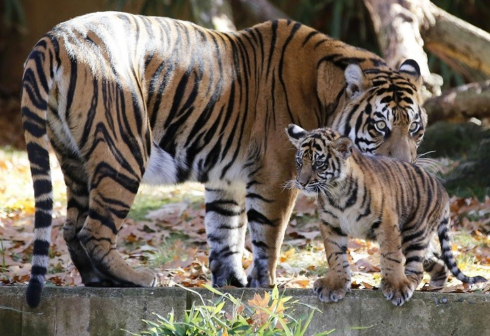 """New report shows the nine """"founder"""" animals from which all 110 captive cats are descended are closely related. (Reuters)"""