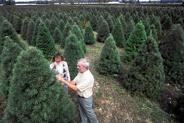 Christmas Tree Buying Guide How To Pick And Care For Your