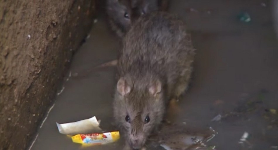 The plague has spread in the country's prisons due to the amount of rats there (ICRC)
