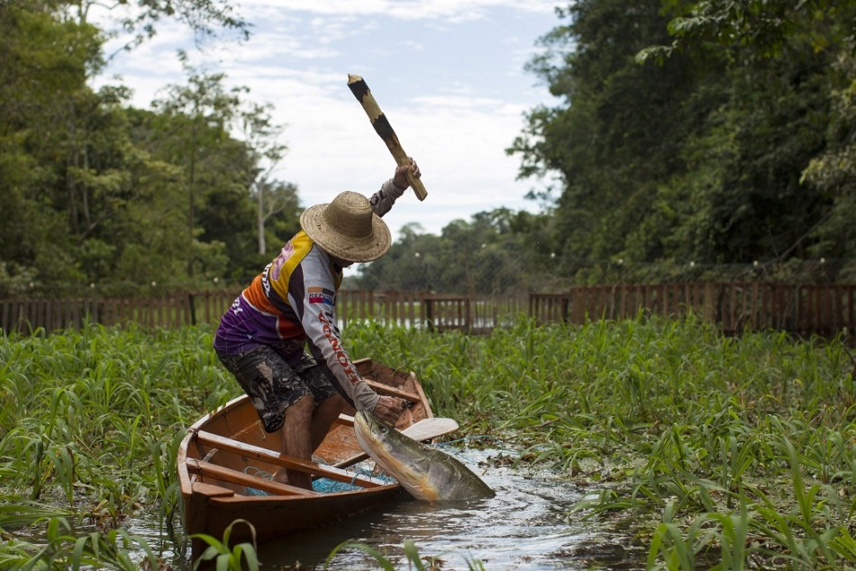 Villager Diomesio Coelho Antunes from the Rumao Island community clubs an arapaima.