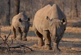 Cute Baby RhinoSays Hello to the World