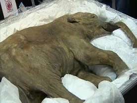 40,000 year old Baby Woolly Mammoth Found in Russia