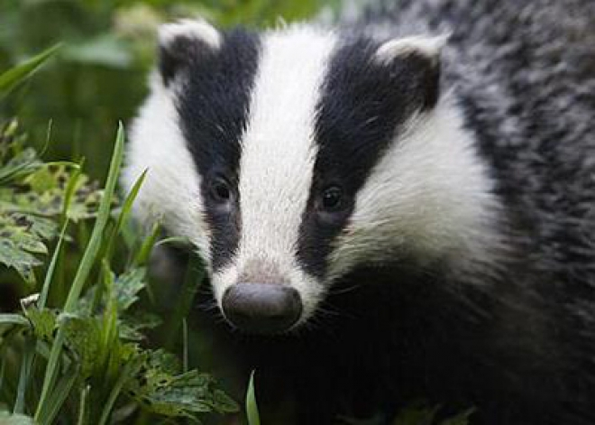 Britain's badger cull delayed until Summer 2013