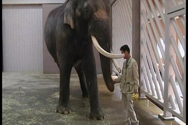 Koshik the elephant learns to speak Korean