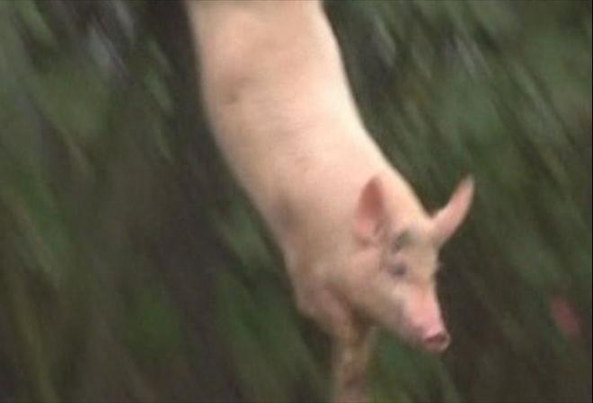 Chinese farmer claims diving pigs make tastier pork