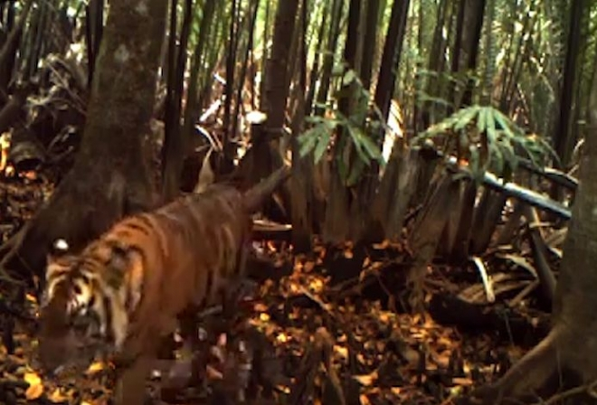 Wild tiger cubs caught on camera for first time in Sumatran forest