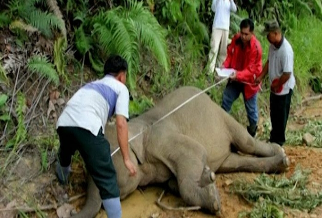 10 'baby faced' Pygmy elephants poisoned in Malaysia