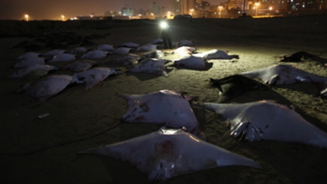 Bumper Haul Of Rays Caught By Gaza Fishermen
