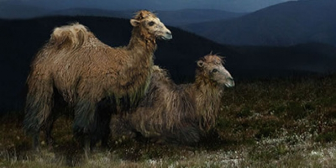 Scientists Say They Have Found Remains Of Ancient Arctic Camel