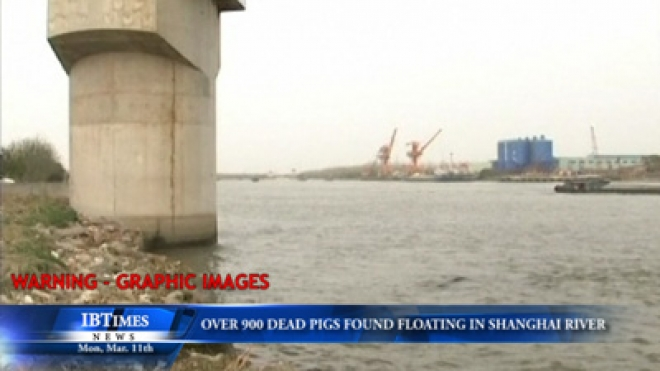 Over 900 Dead Pigs Found Floating In Shanghai River