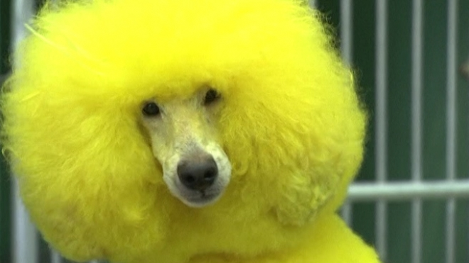 Canines Get Colourful With New Grooming Trend