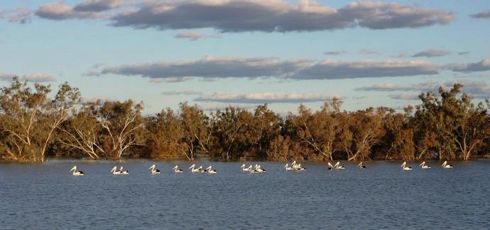 Pelicans swim in a river