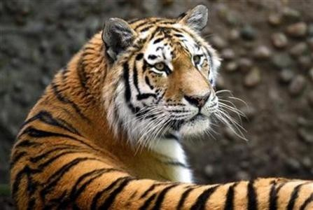 Russia and China pledge to save the tiger