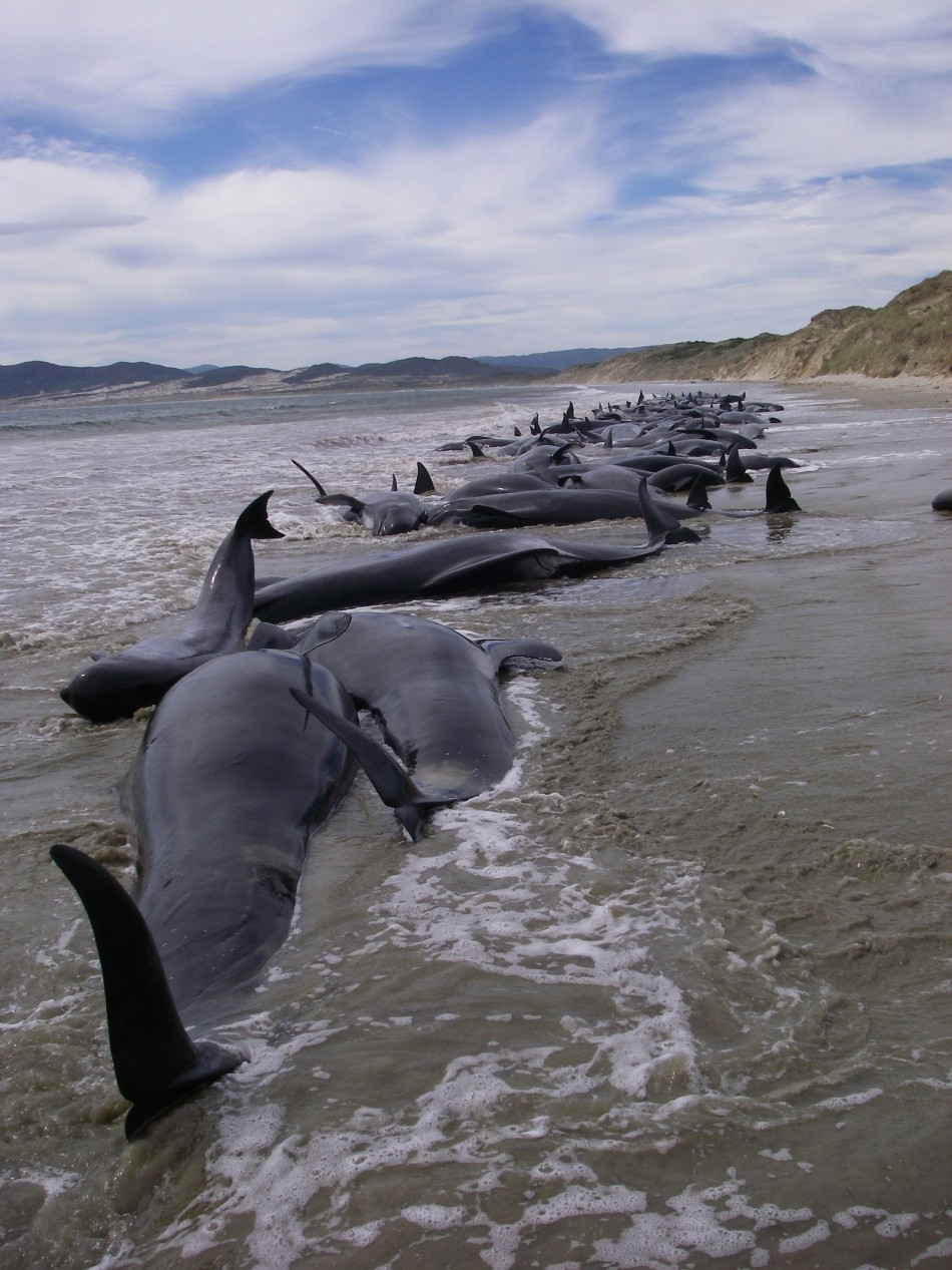 Handout photo of a pod of 107 pilot whales stranded on Mason Bay on Stewart Island (3)