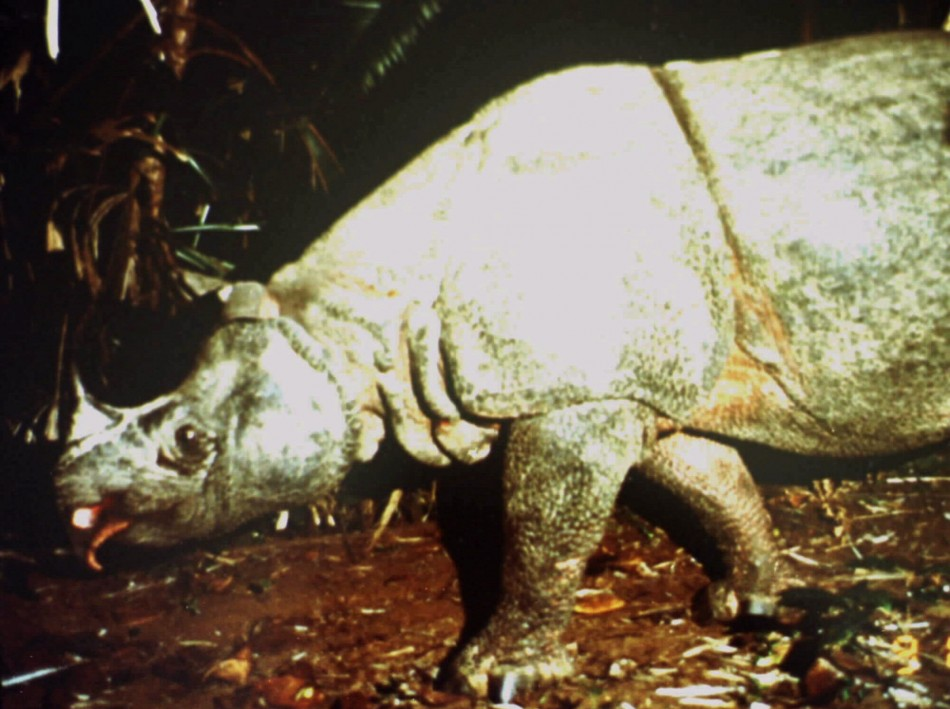 UNDATED FILE PHOTO - MALE JAVAN RHINOCEROS