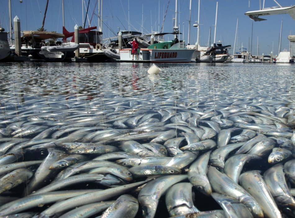 Us fishery council halts commercial sardine fishing as pacific ocean dead fish in the harbor area of redondo beach publicscrutiny Images