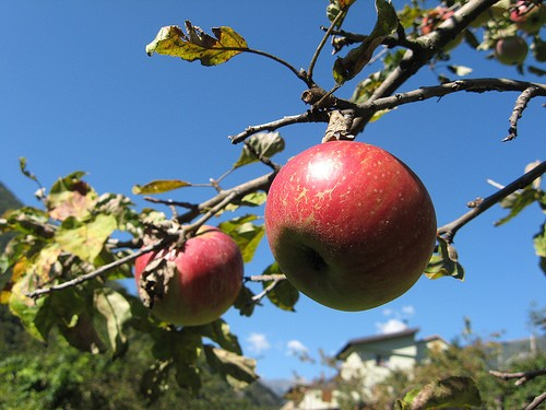 1500 Apple Trees Destroyed by Vandals