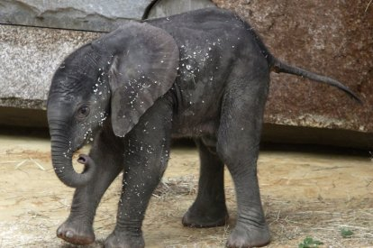 A yet unnamed African elephant calf walks in its enclosure in Schoenbrunn zoo in Vienna