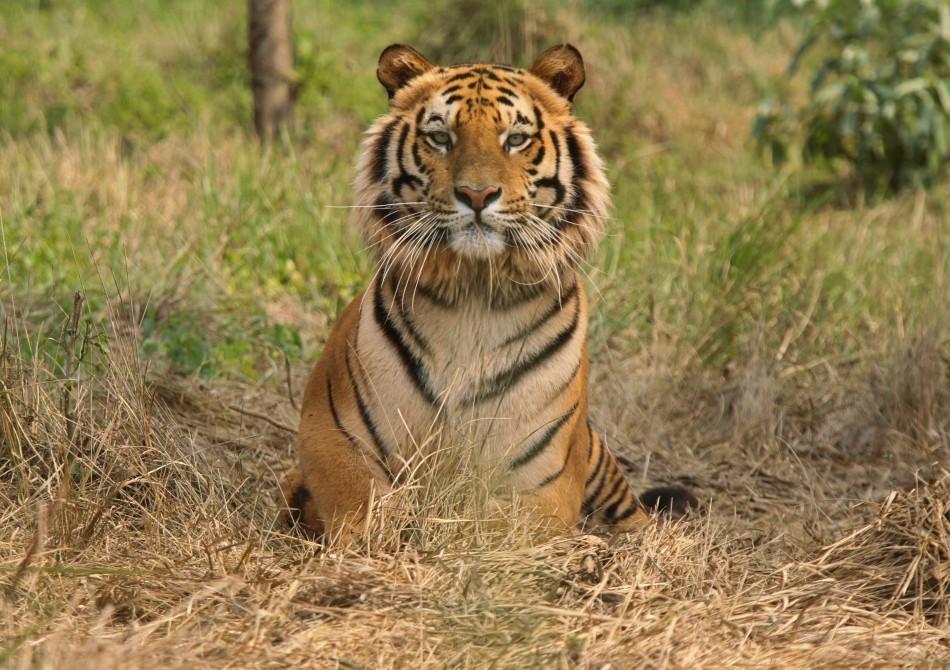 Raja Royal Bengal Tiger rests inside tiger rescue centre at Jaldapara