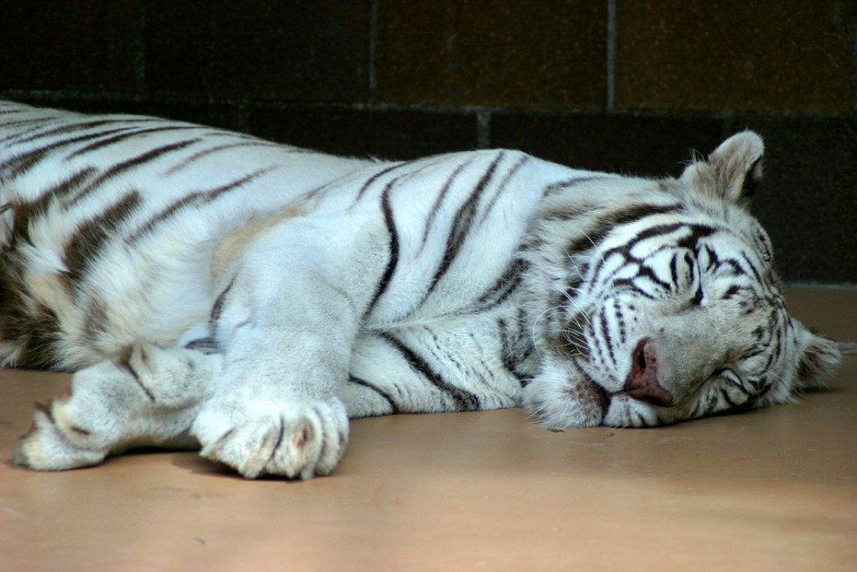 Escaped circus tiger causes panic in Sicily