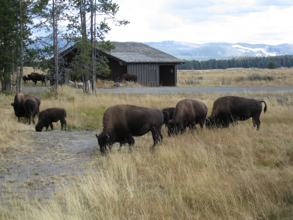 Tourists visiting Yellowstone 'volcano' injured by bison