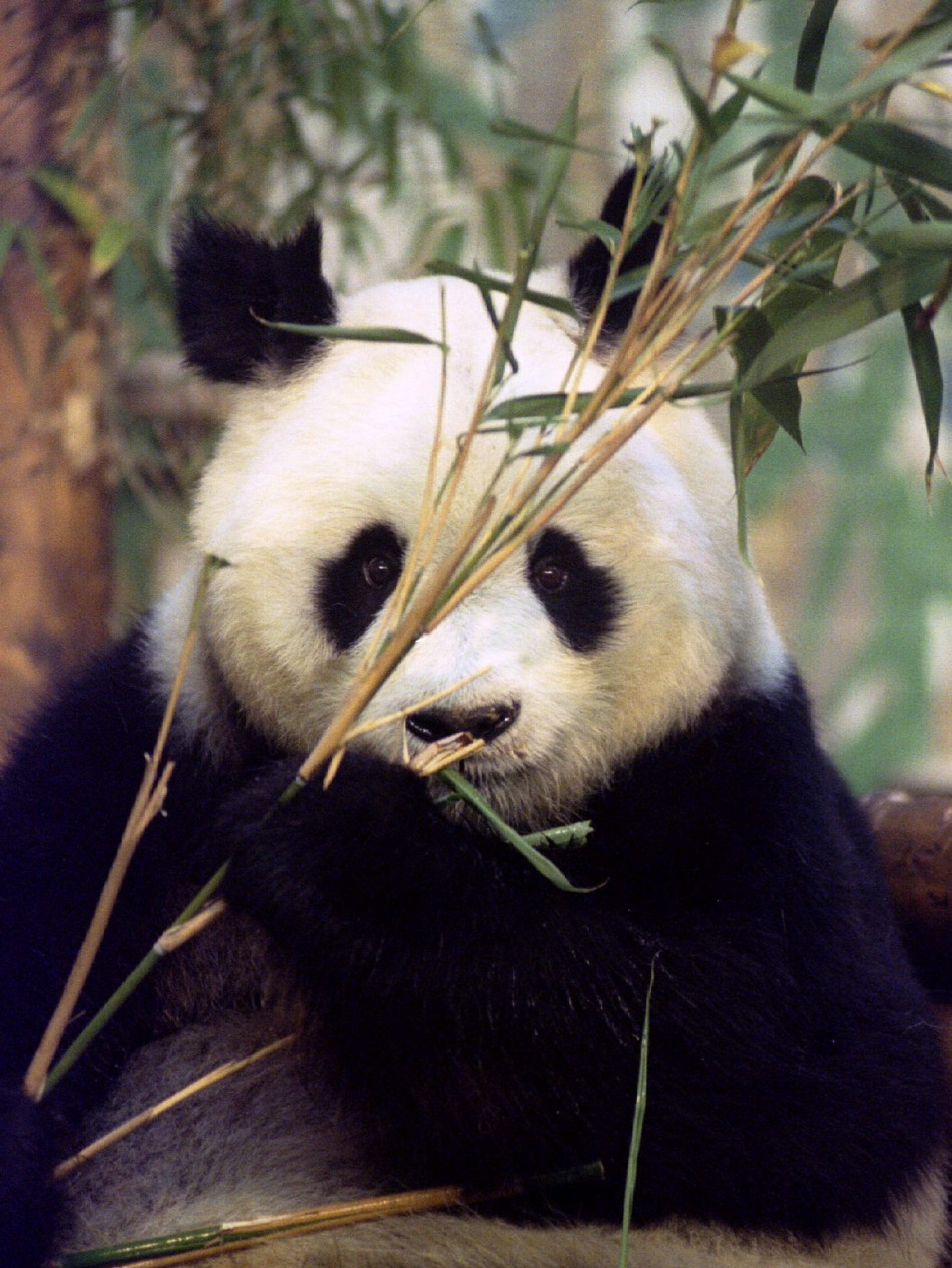 Ming Ming chews bamboo shoots at the zoo in London, in this file photo taken October 20, 1994