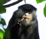 Cercopithecus monkeys