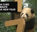 Panda cubs celebrate Lunar New Year