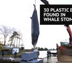Whale with plastic in stomach