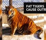 Fat tiger in Chinese park