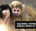 Squirrel monkey babies born at zoo