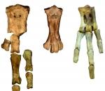 Penguin fossil