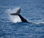Humpback whale sighted in Devon