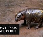 Baby pygmy hippo born at Australian Zoo