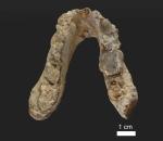Graecopithecus jaw
