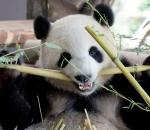 Meng Mang the giant panda
