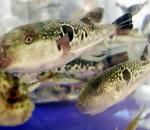 Deadly Fugu fish
