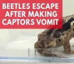 beetles-escape-after-making-toads-vomit