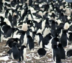 Scientists have discovered 鈥榤ega-colonies鈥� of penguins among the remote islands of Antarctica