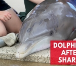seaworld-rescue-team-treats-injured-dolphin-after-shark-attack
