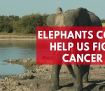 elephants-could-help-us-fight-cancer